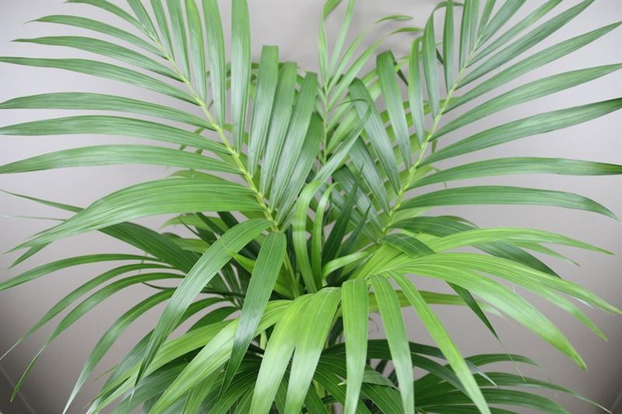 1.4m Kentia Palm (Howea Forsteriana)