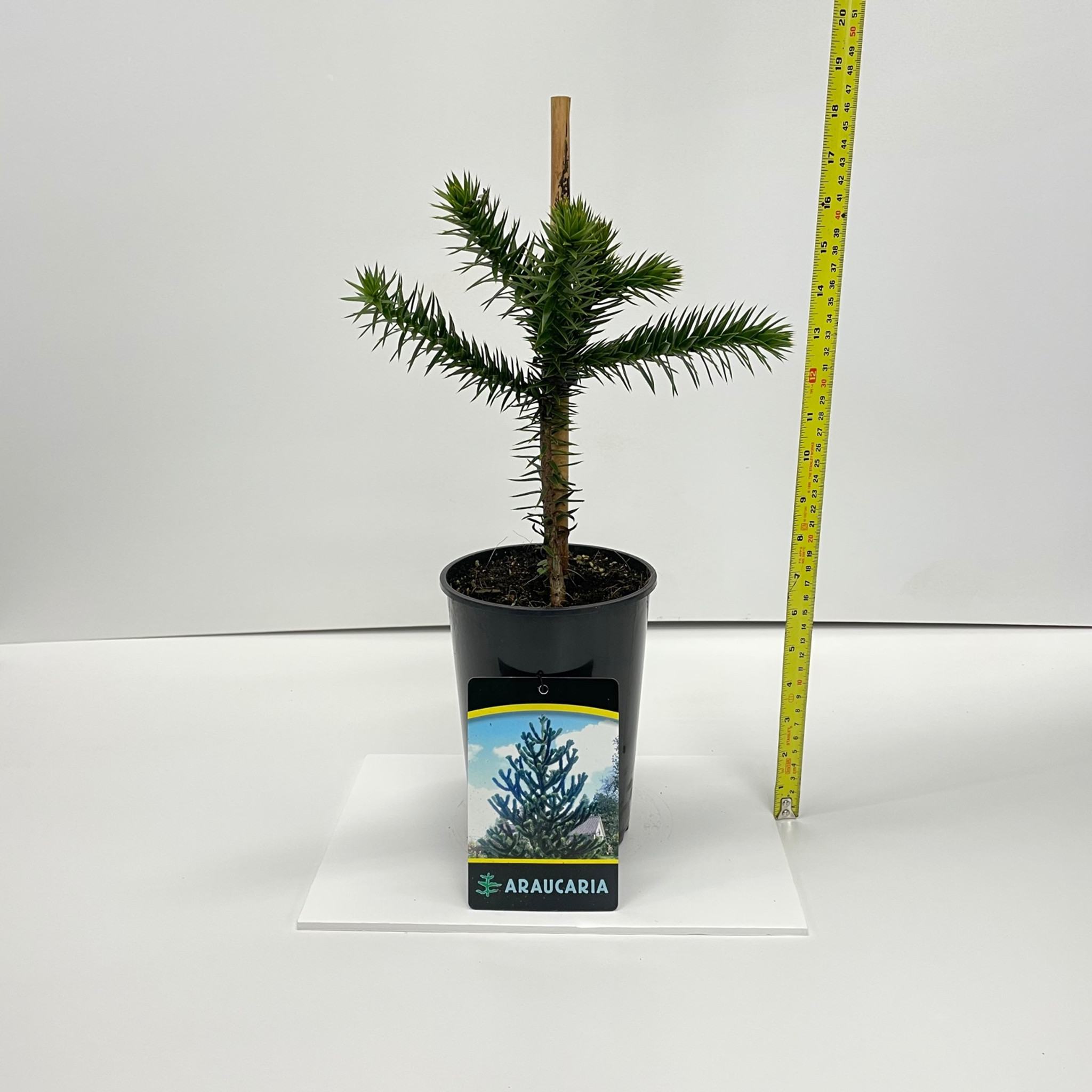 Araucaria Araucana Monkey Puzzle Tree - 40cm Height