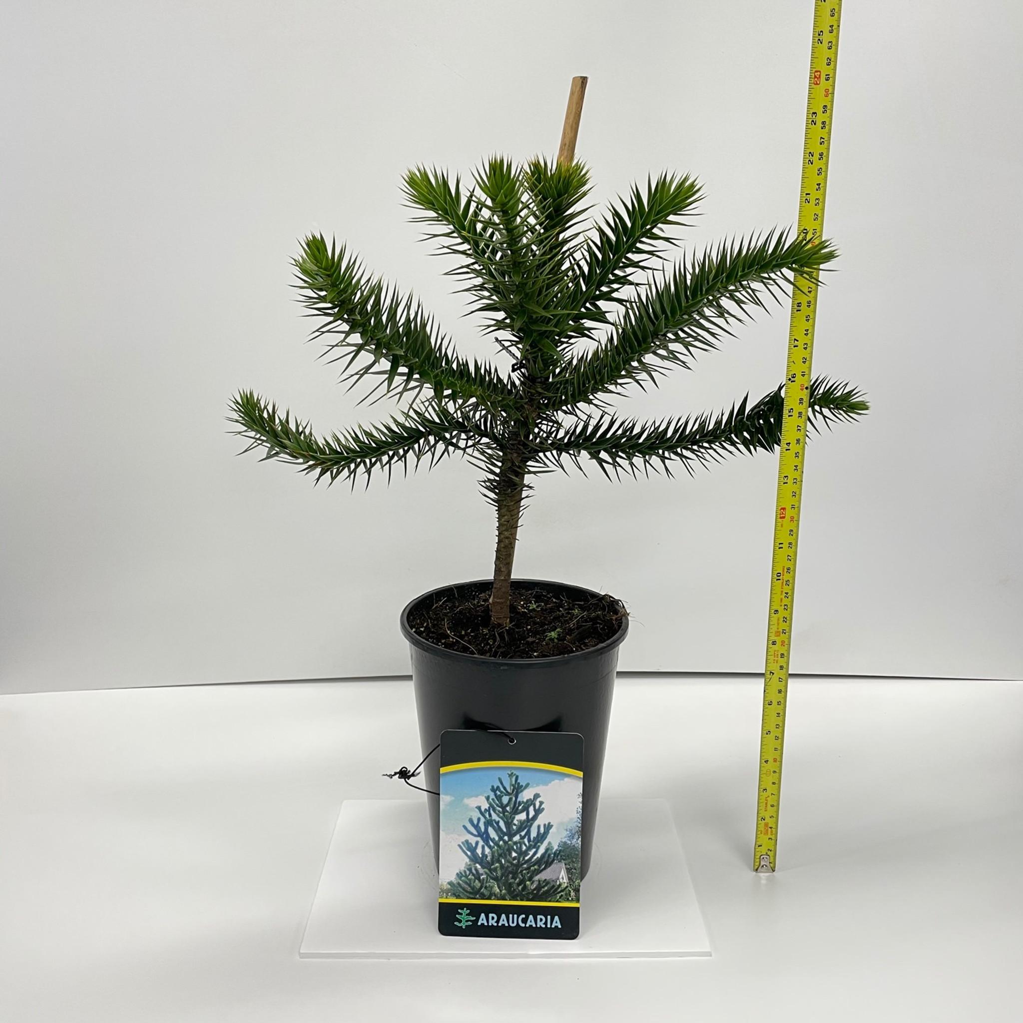 Araucaria Araucana Monkey Puzzle Tree - 60cm Height