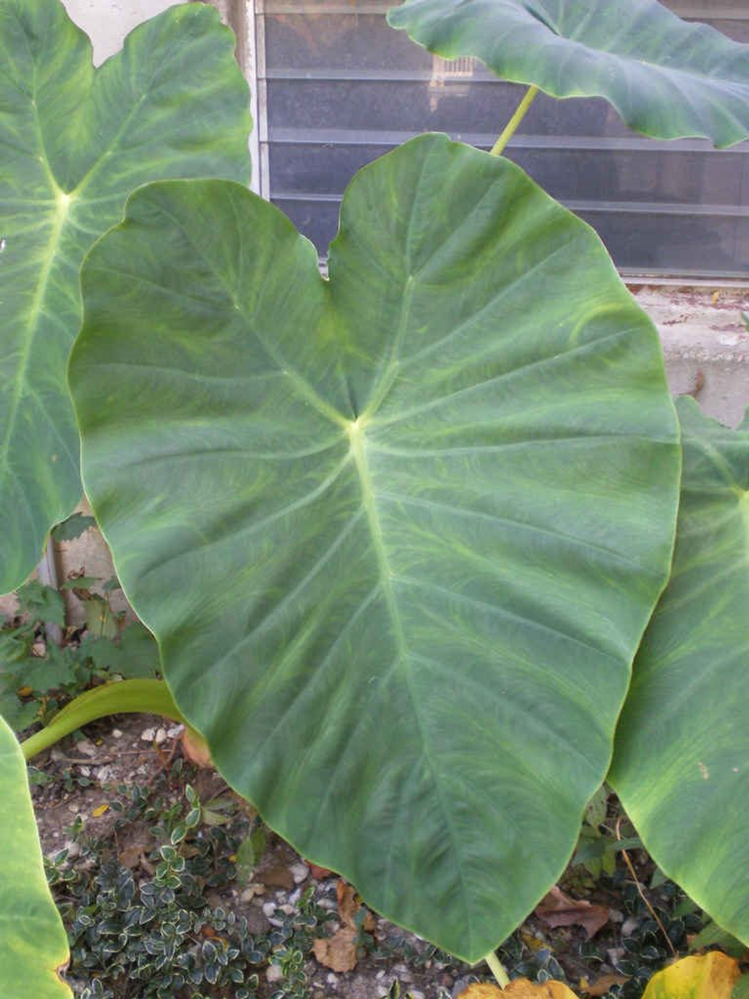 Large elephants ear leaf