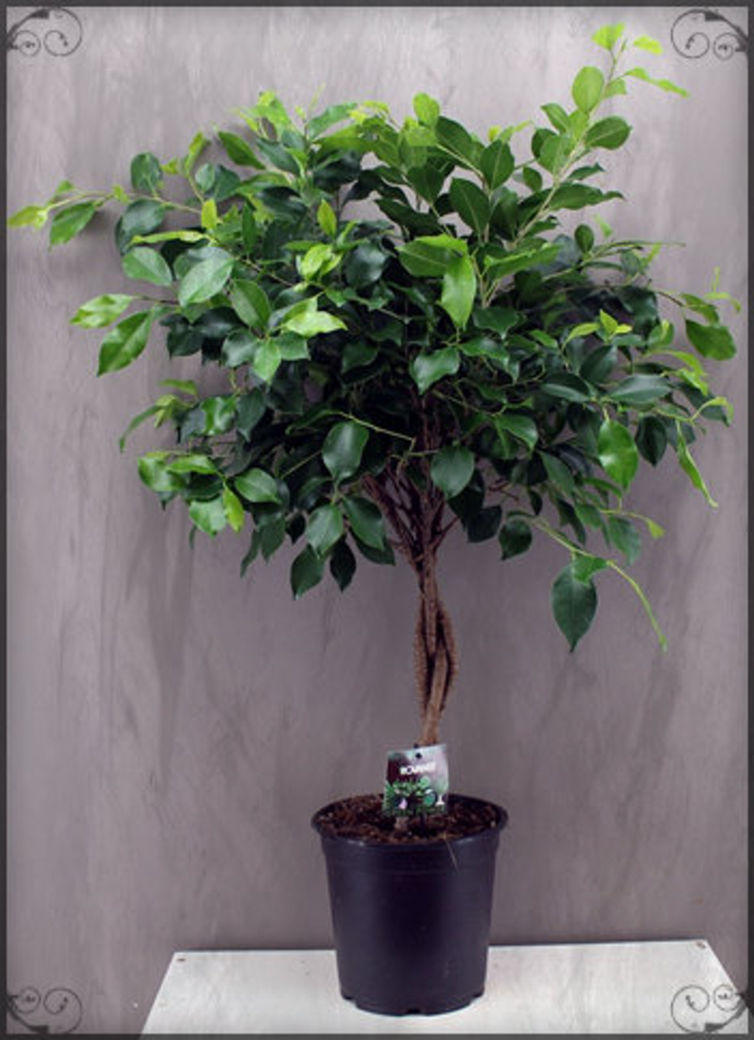 Twisted Stem Ficus , 65- 95cm tall, ( 2-3ft )
