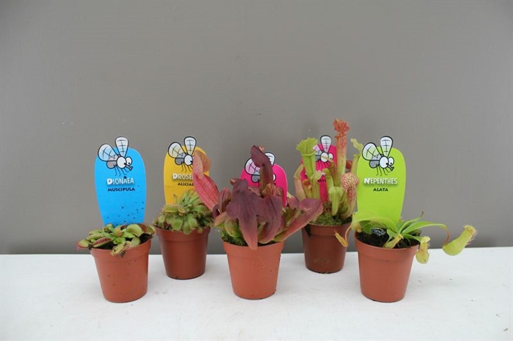 Mini carnivorous plant collection