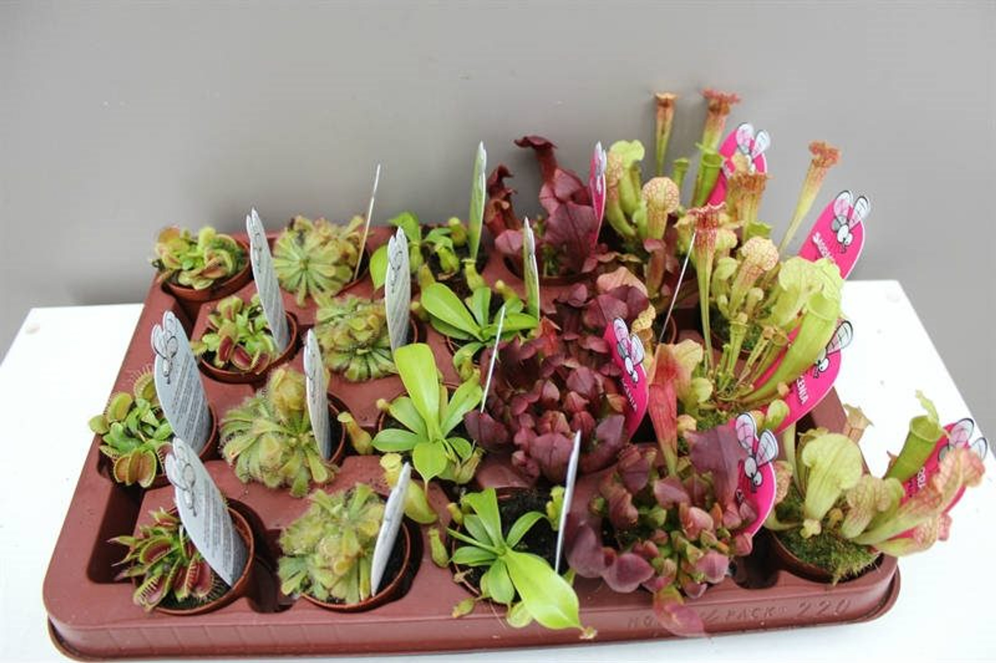 Carnivorous mini plants
