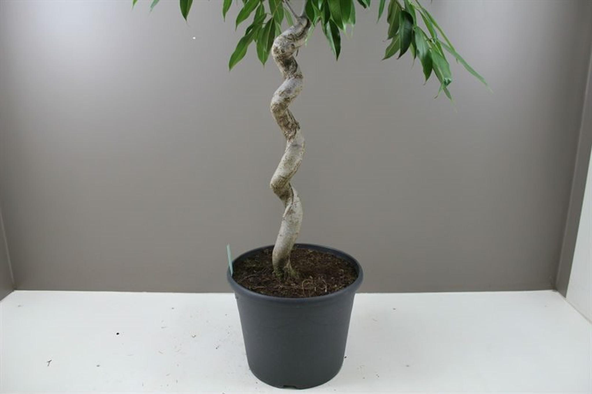 Ficus Alii Spiral stem