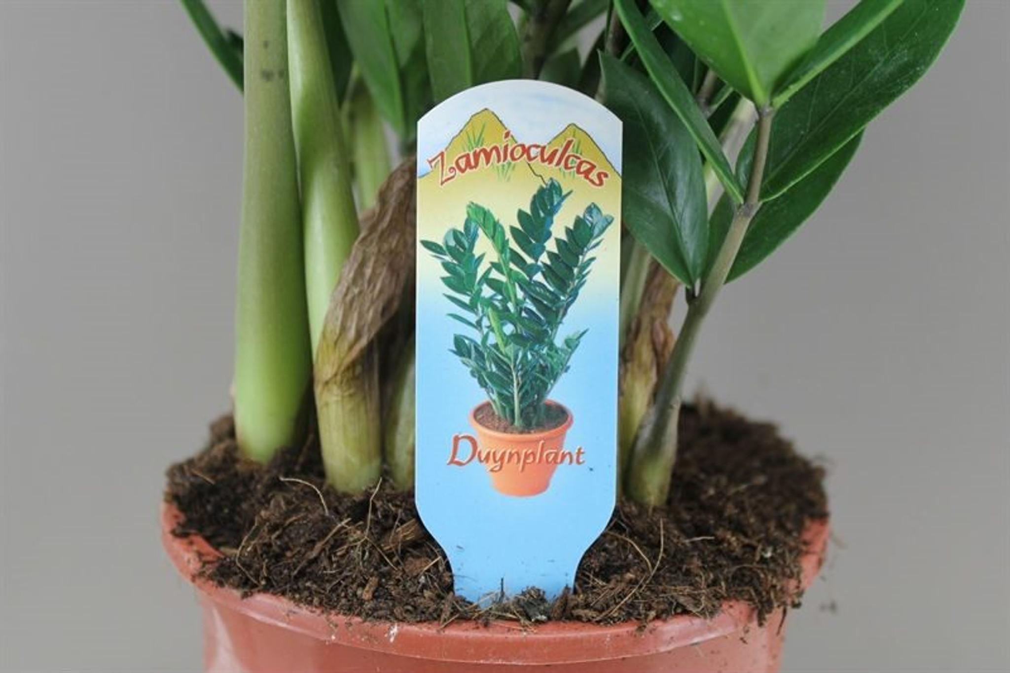Large Zamioculcas zamiifolia
