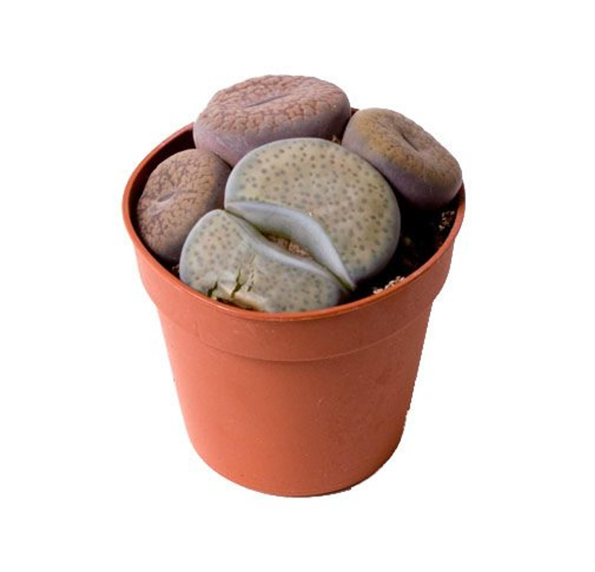 Pot 6cm Living Stone Lithops