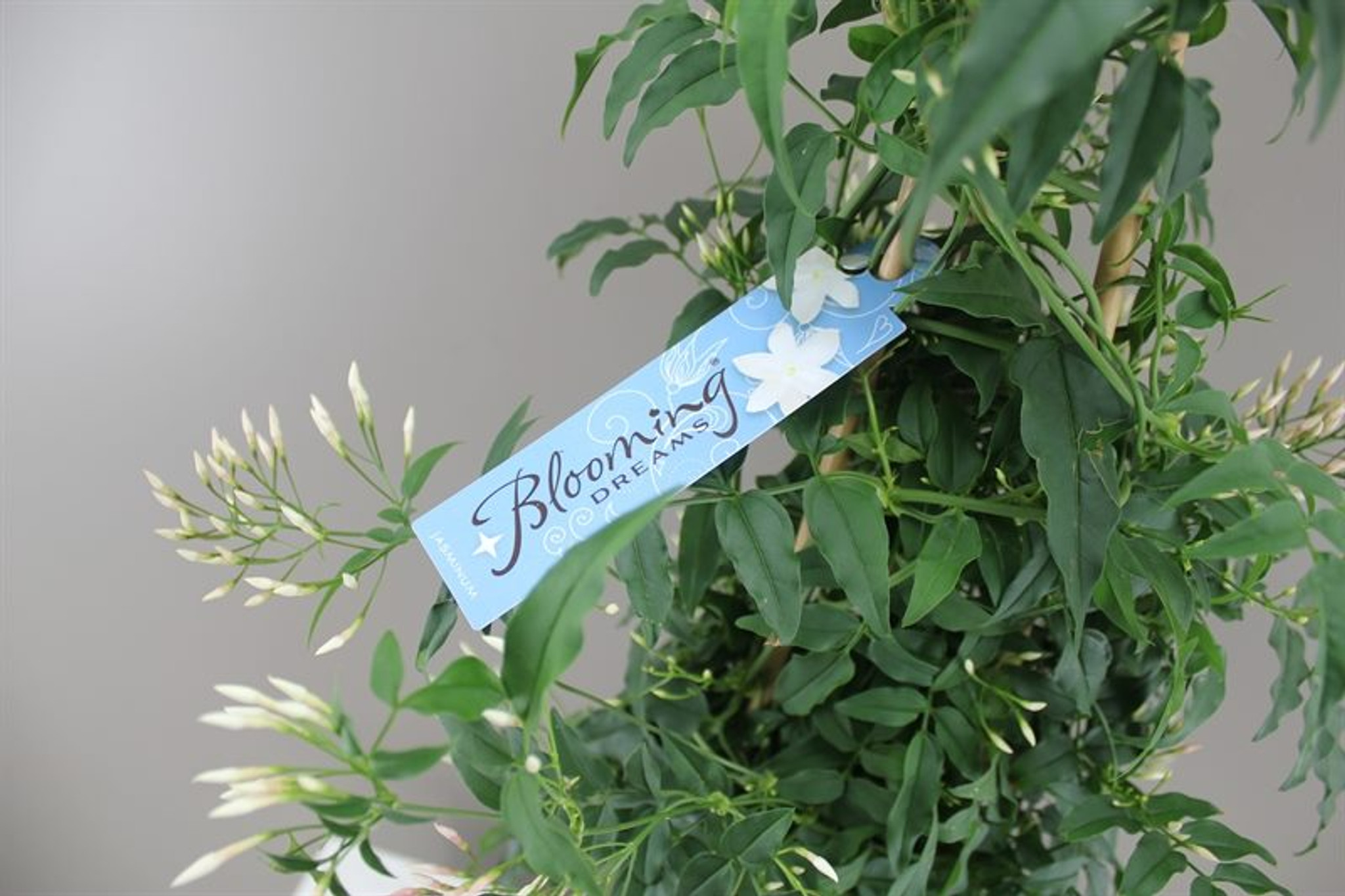 Jasminum polyanthum bow