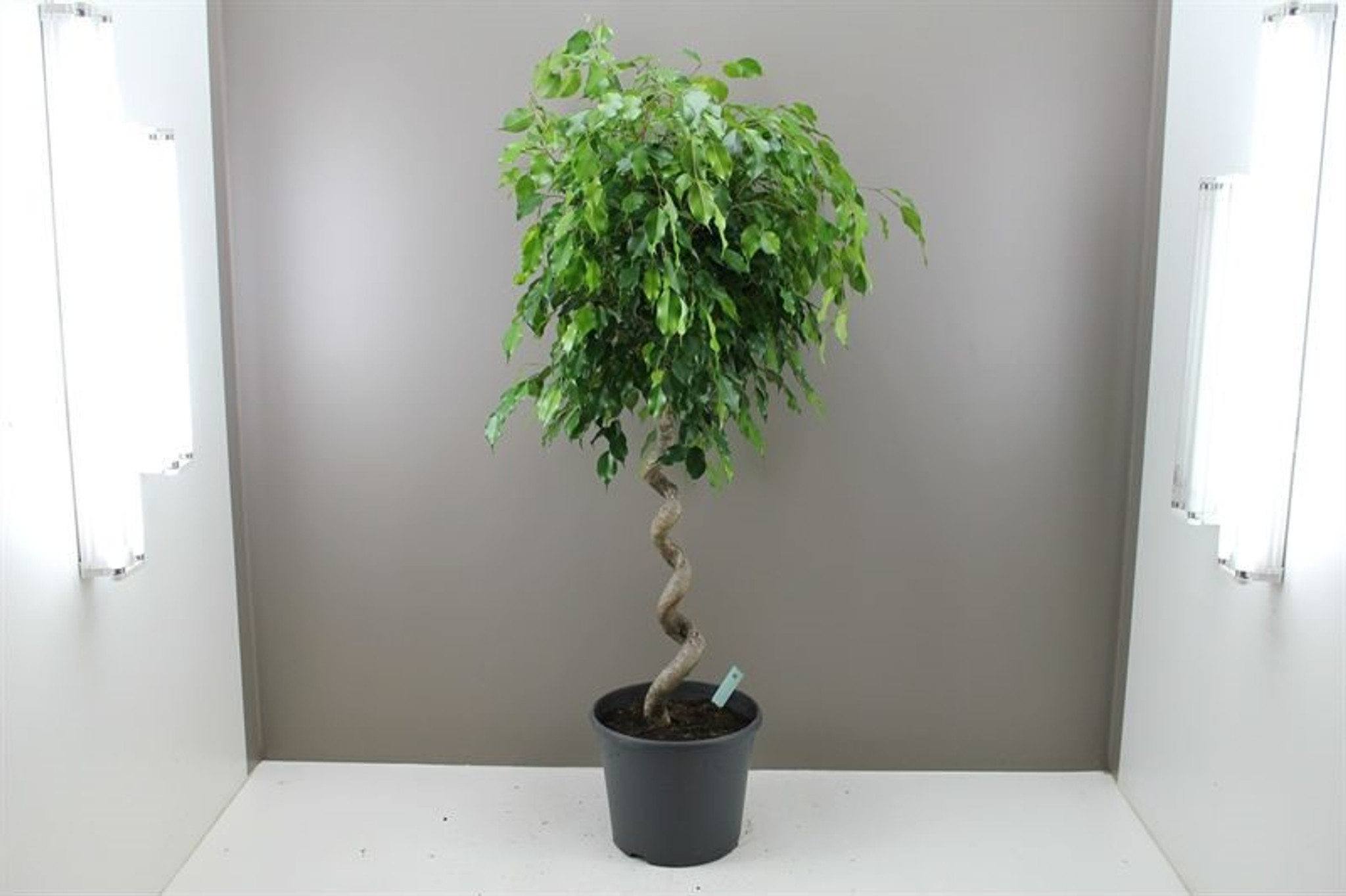 Large Spiral Stem Ficus