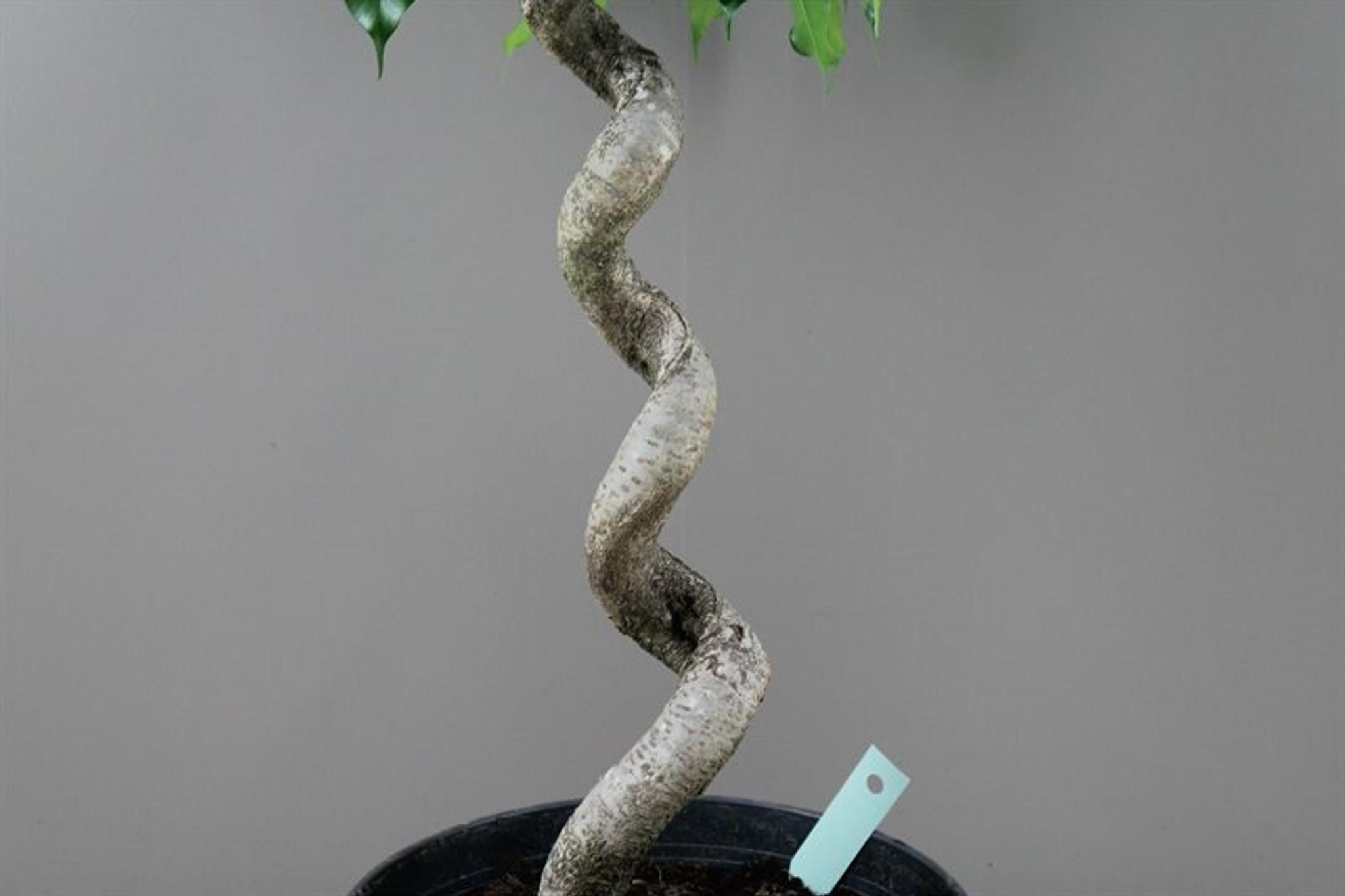 Spiral Ficus Stem