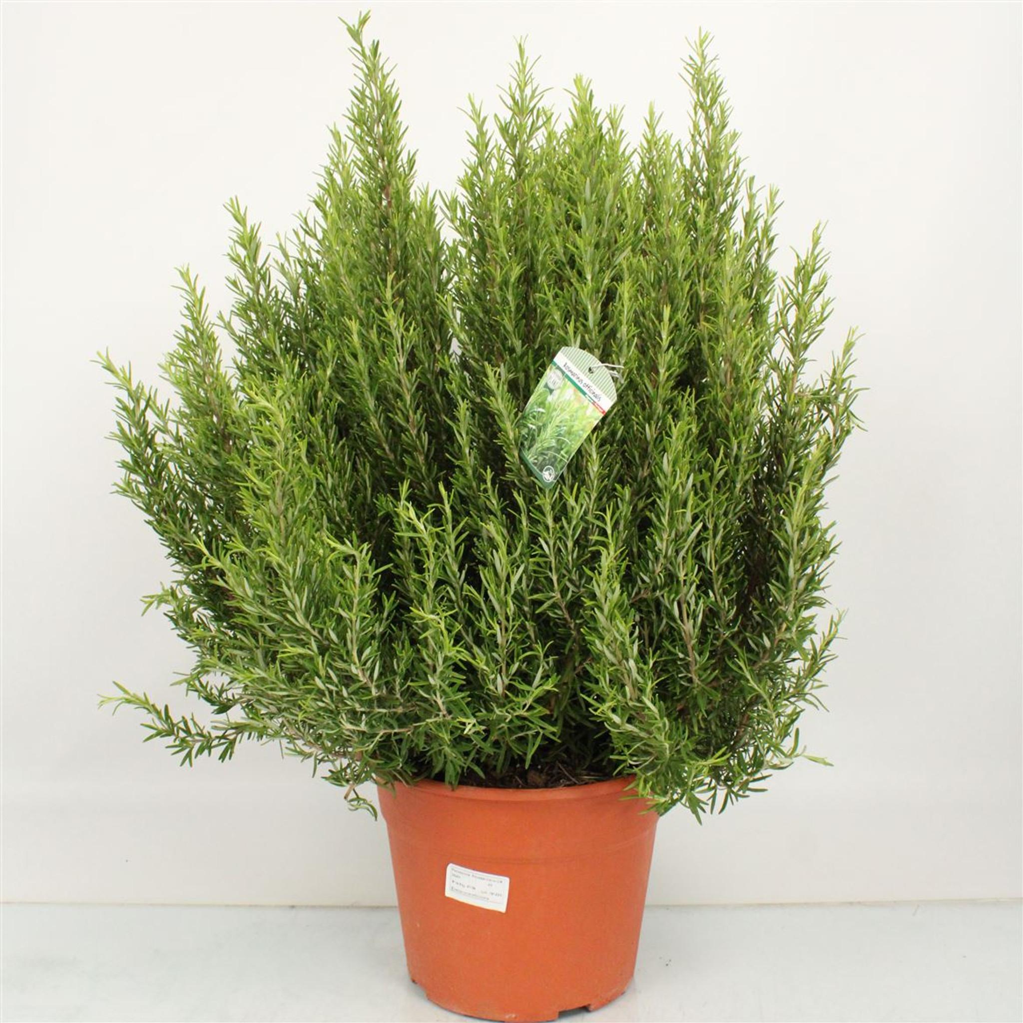 Huge plant , many uses  Rosmarinus bush 55cm height inc pot height
