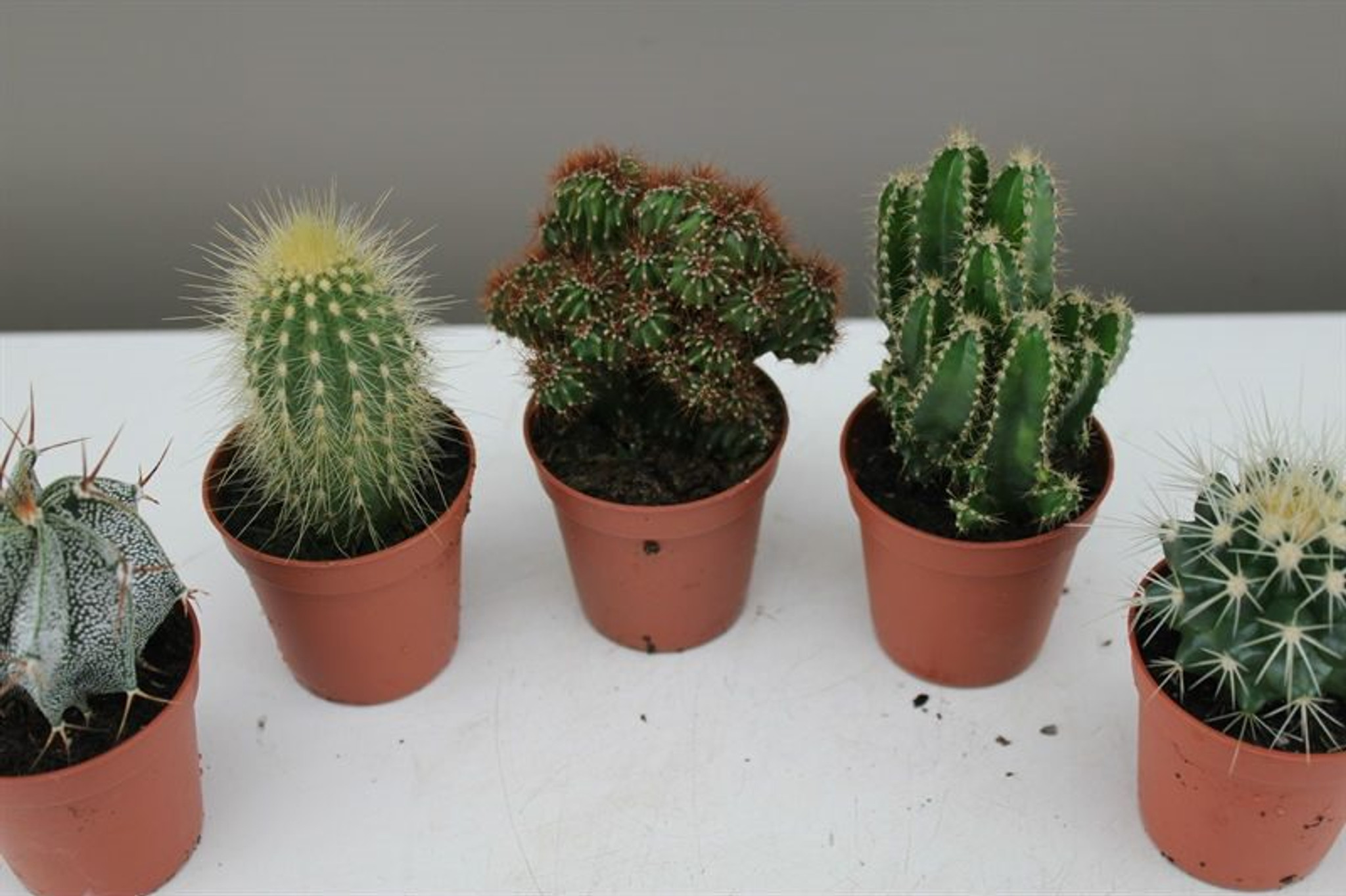 Cactus Starter set