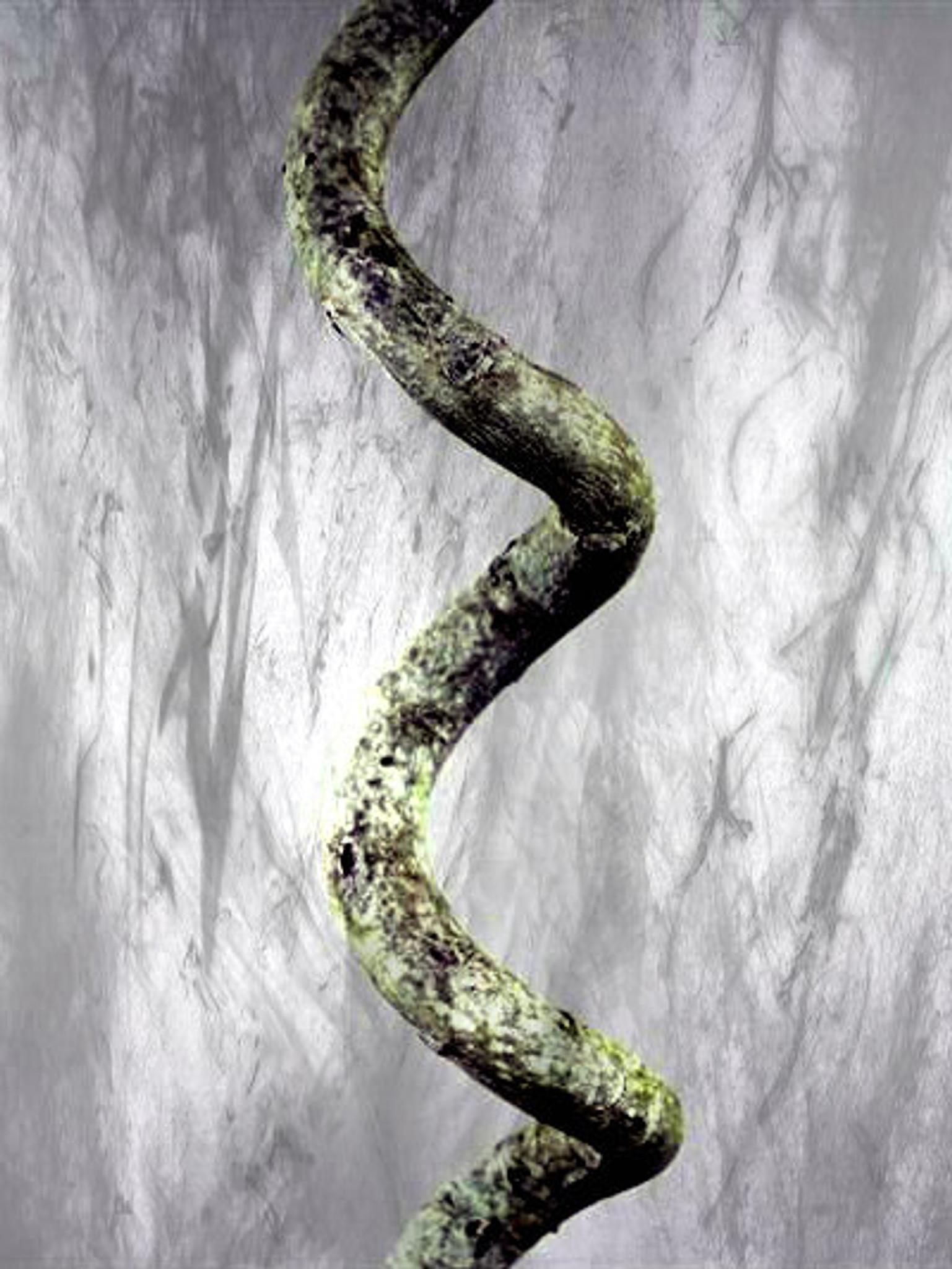 Rare Spiral Bay Tree