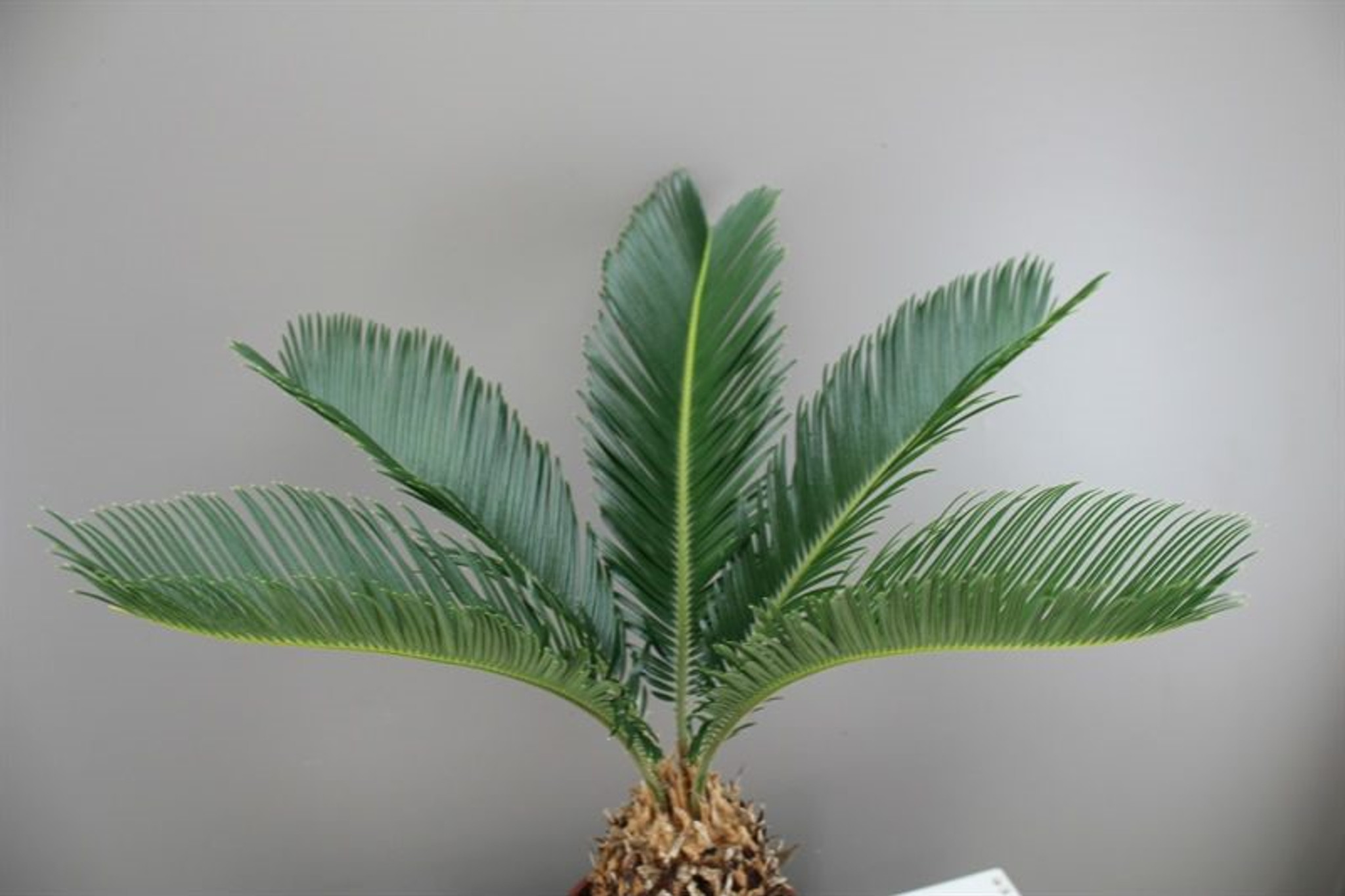 Japanese Palm Tree