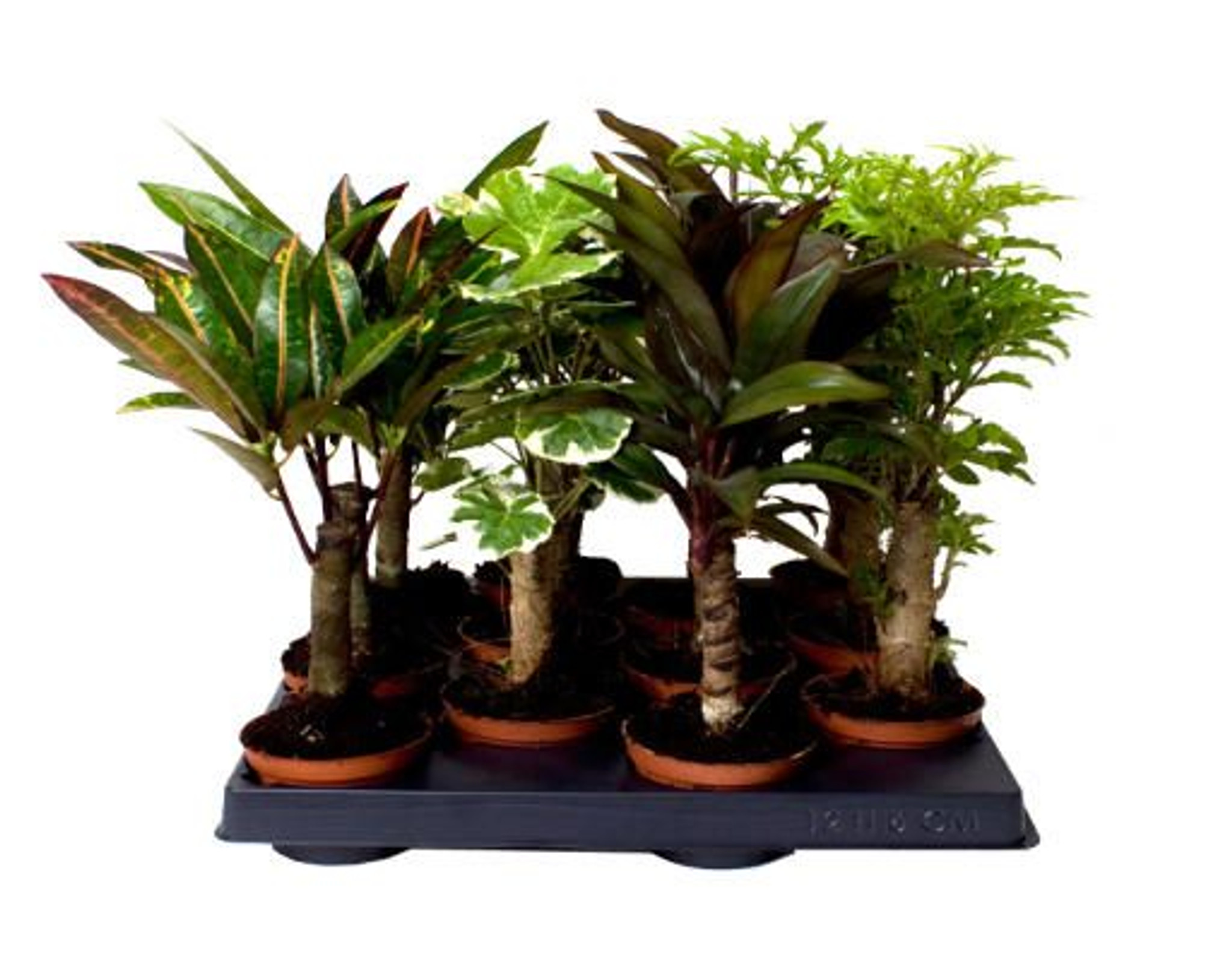 Stem mix- Great mix of long-stemmed indoor plants for your home or office- Add a touch of the outdoors to your home- Easy to care for indoor plants- 4 plants set or just 1 plant option