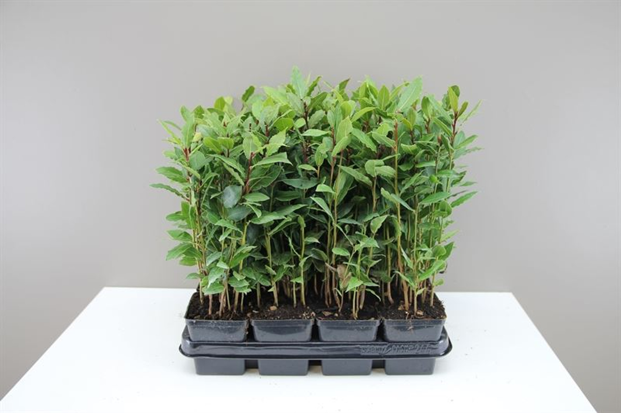 Bay tree-Laurus Nobilis-Beautiful small tree for home or garden