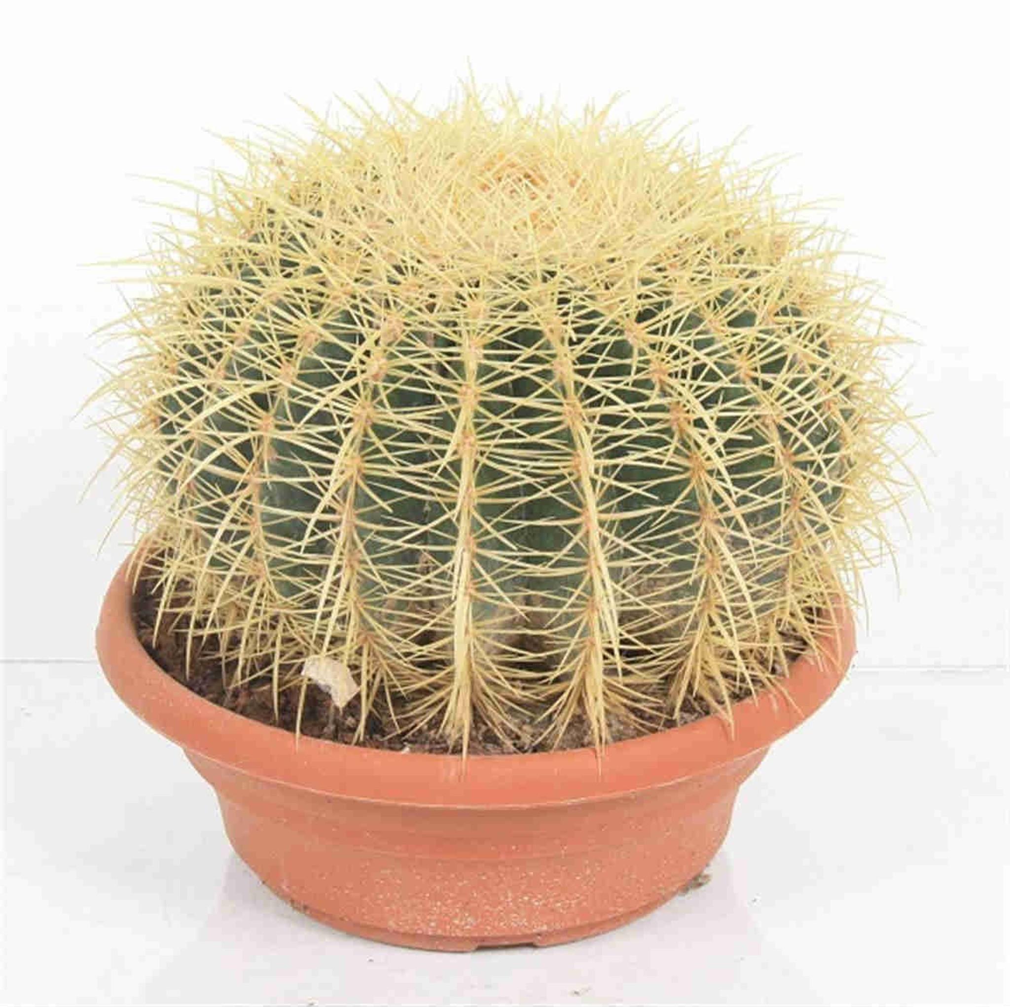 xl Echinocactus Grusonii