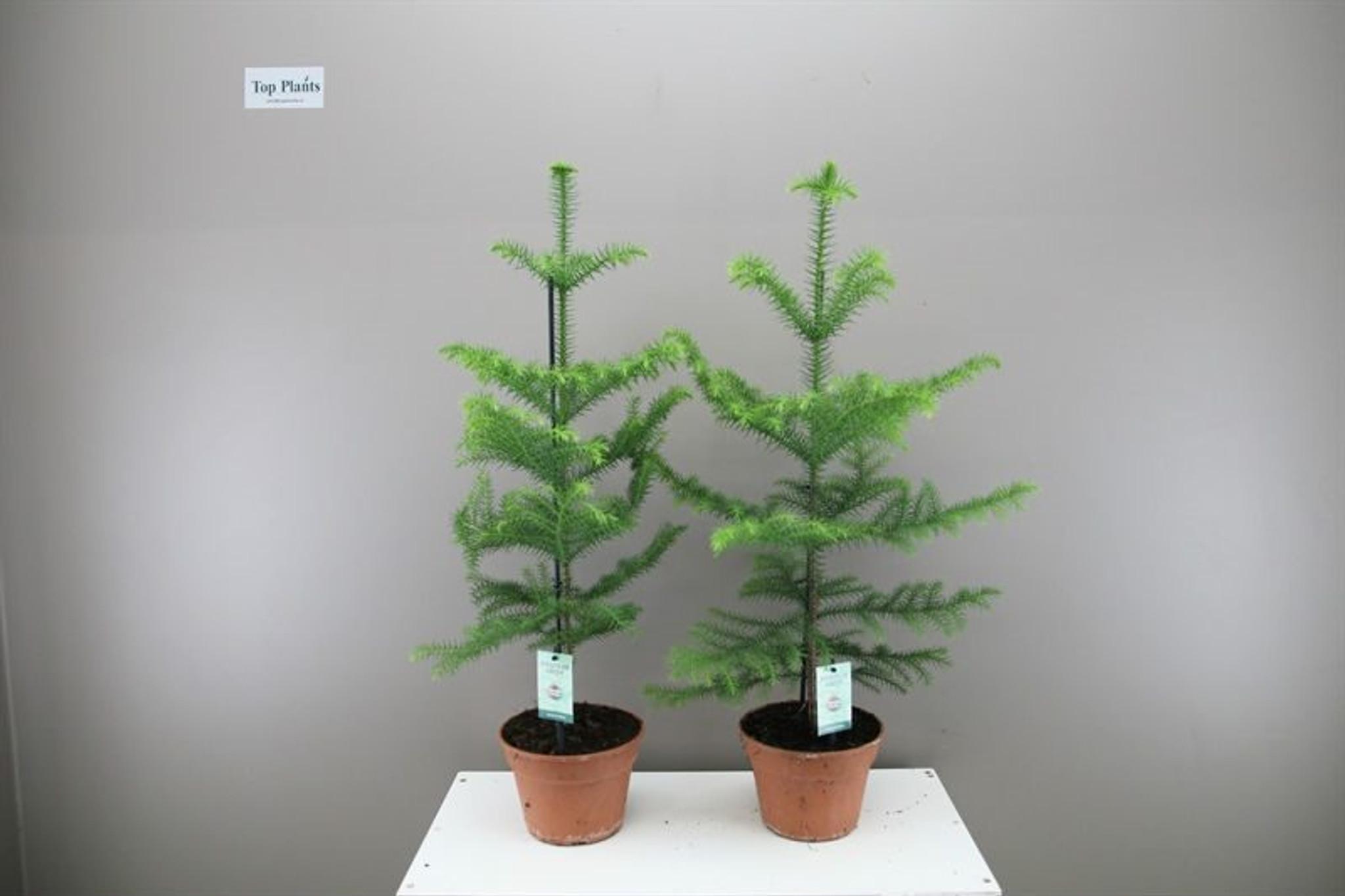 Medium Norfolk Pine 1 x p17cm x h60cm