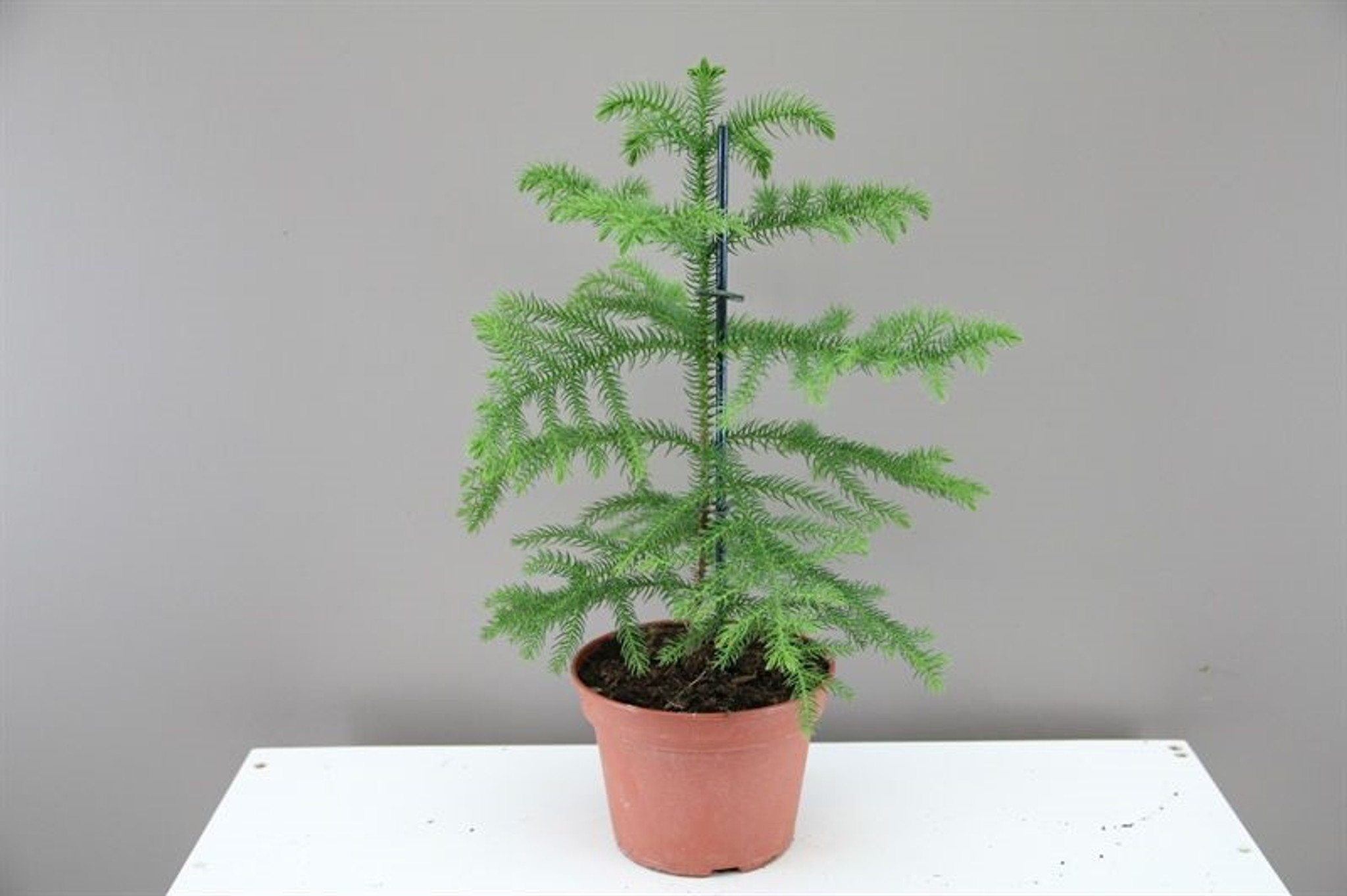 Small Norfolk Island Pine p15 xh30
