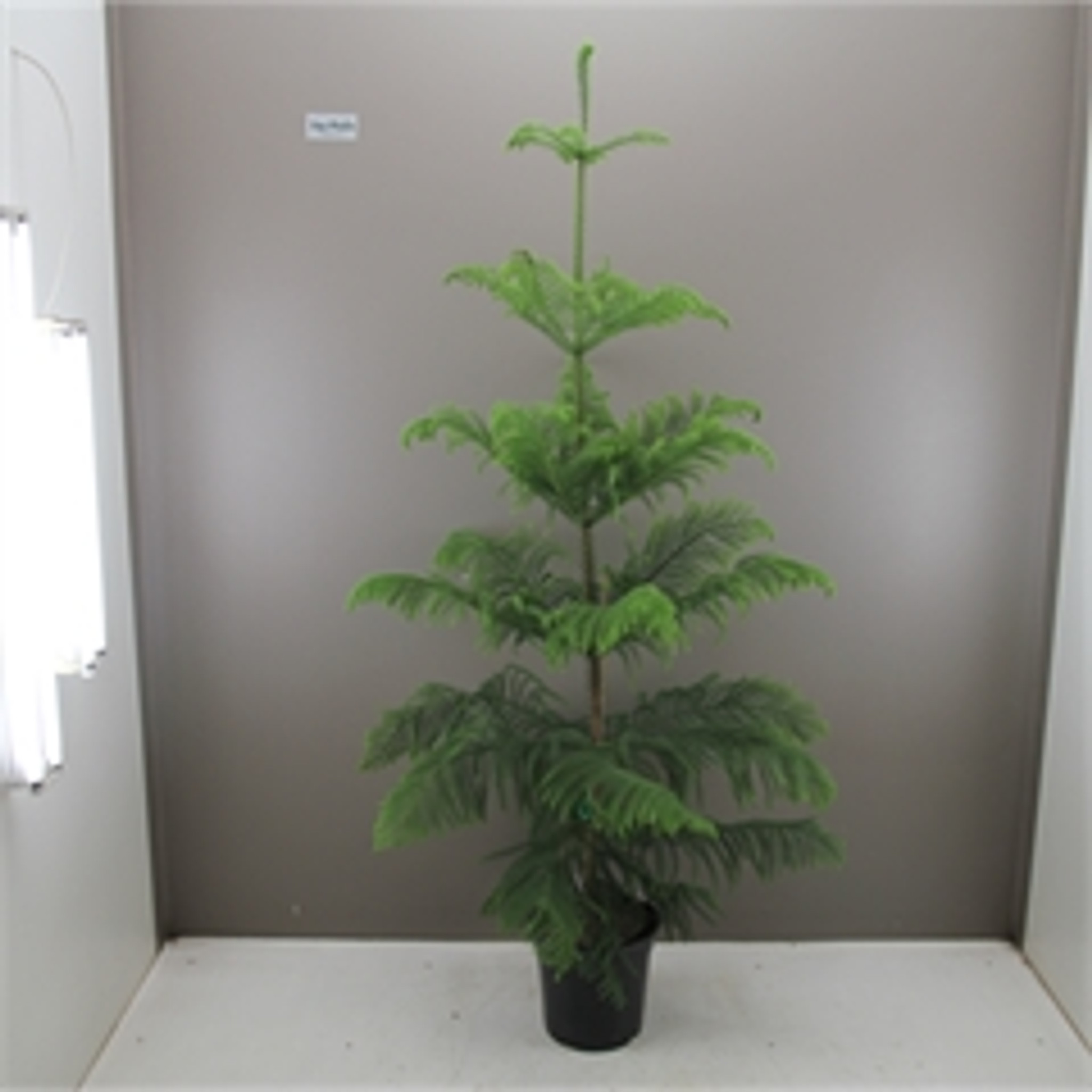 Grand Norfolk Pine p30cm x h180cm