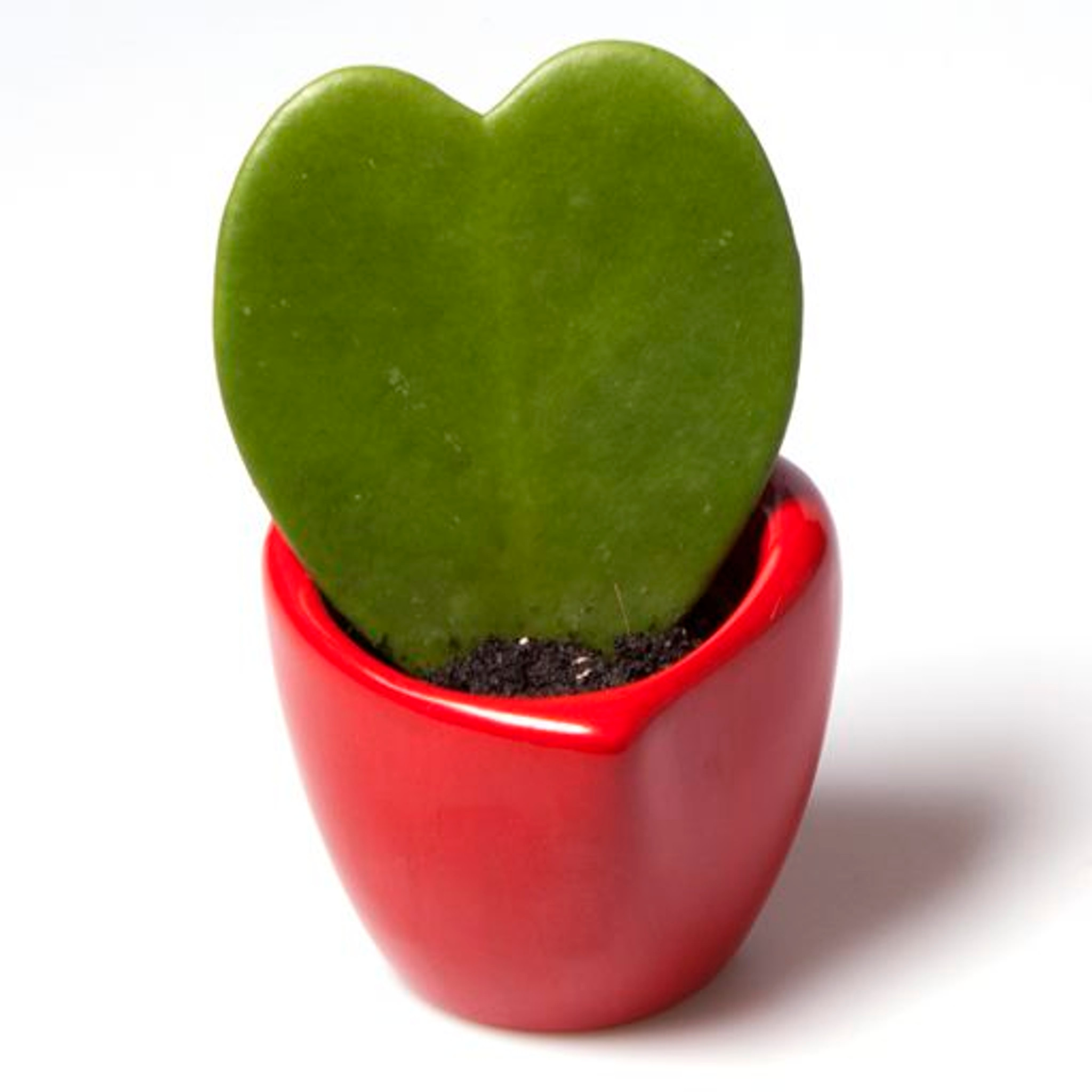 Hoya Kerrii Lucky Heart - Lovely Sweetheart Plant in Ceramic Heart Shaped Red Pot - Stylish Addition to any Home or Special present for a Loved One