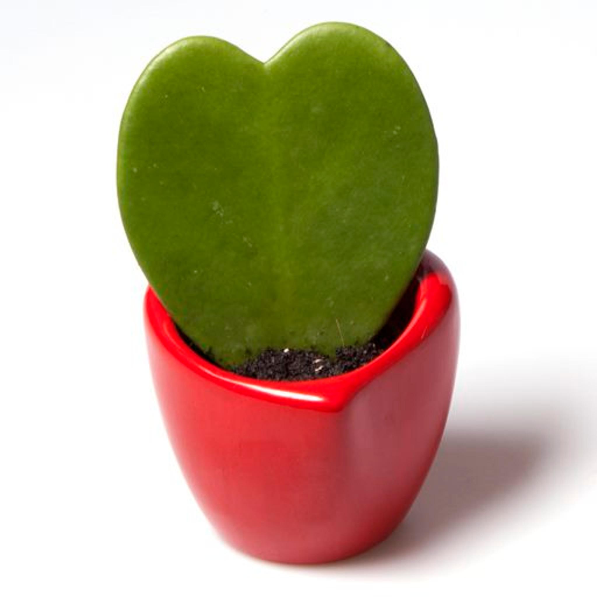 Hoya Kerrii Lucky Heart Red Ceramic Pot