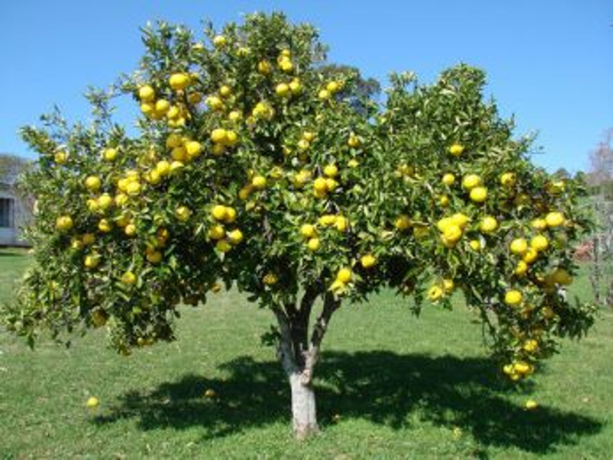 Chinese Grapefruit Tree