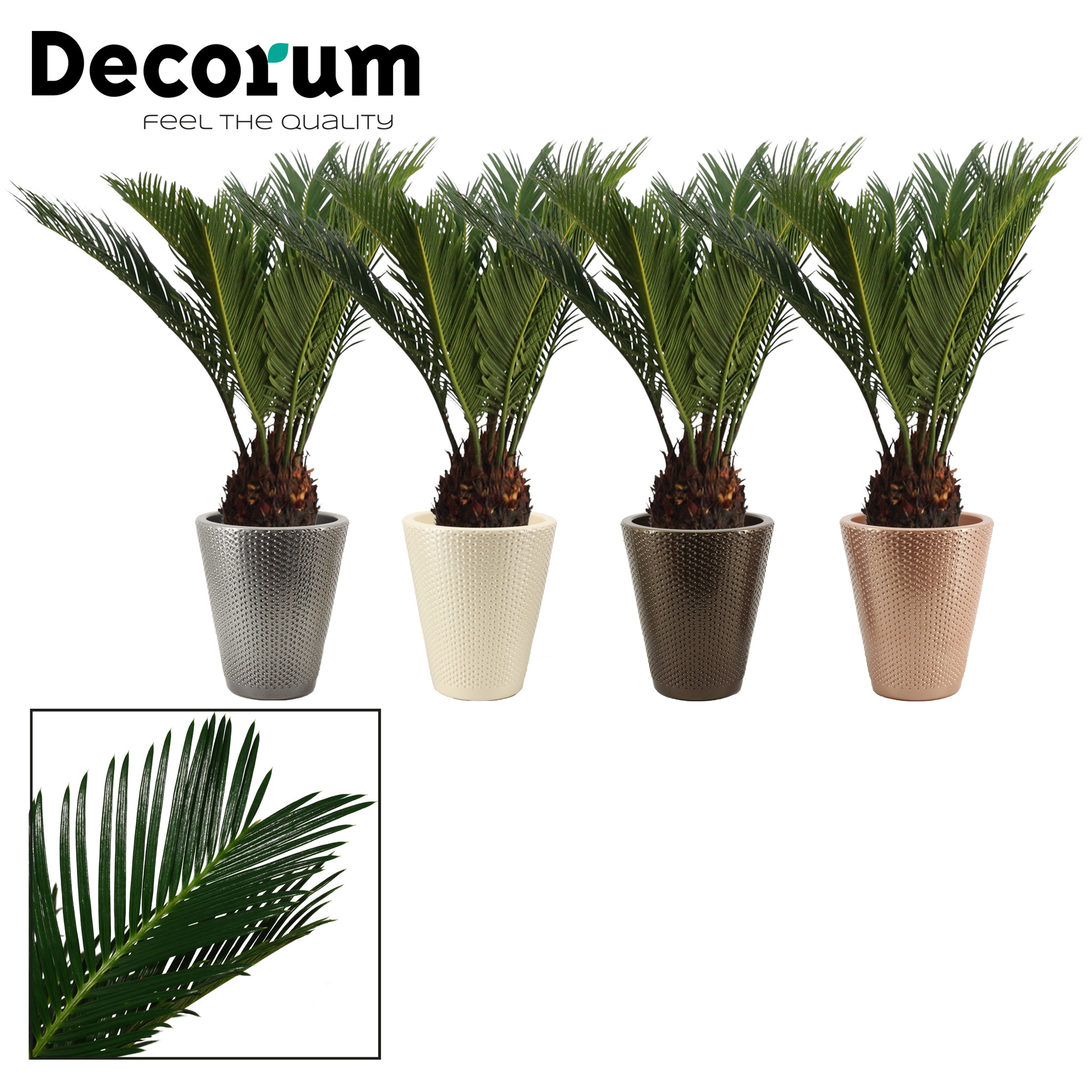One of these  or you can order few and we will send in several pot colour  . Pot 13cm ceramic in one of the above colour. Easy to grow palm tree small and exotic looking.