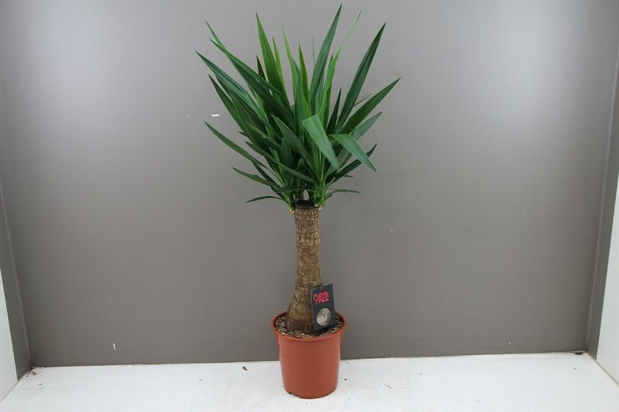 Indoor Yucca