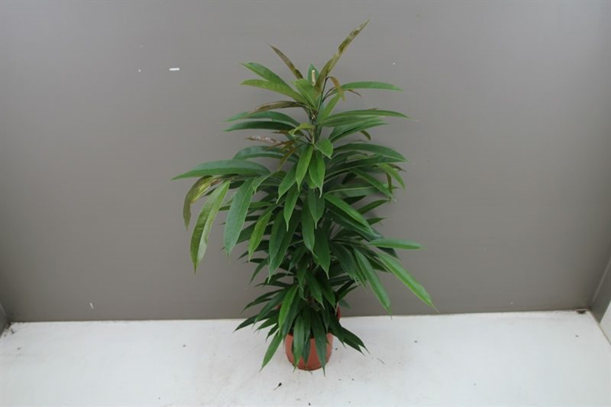 Bushy indoor tree