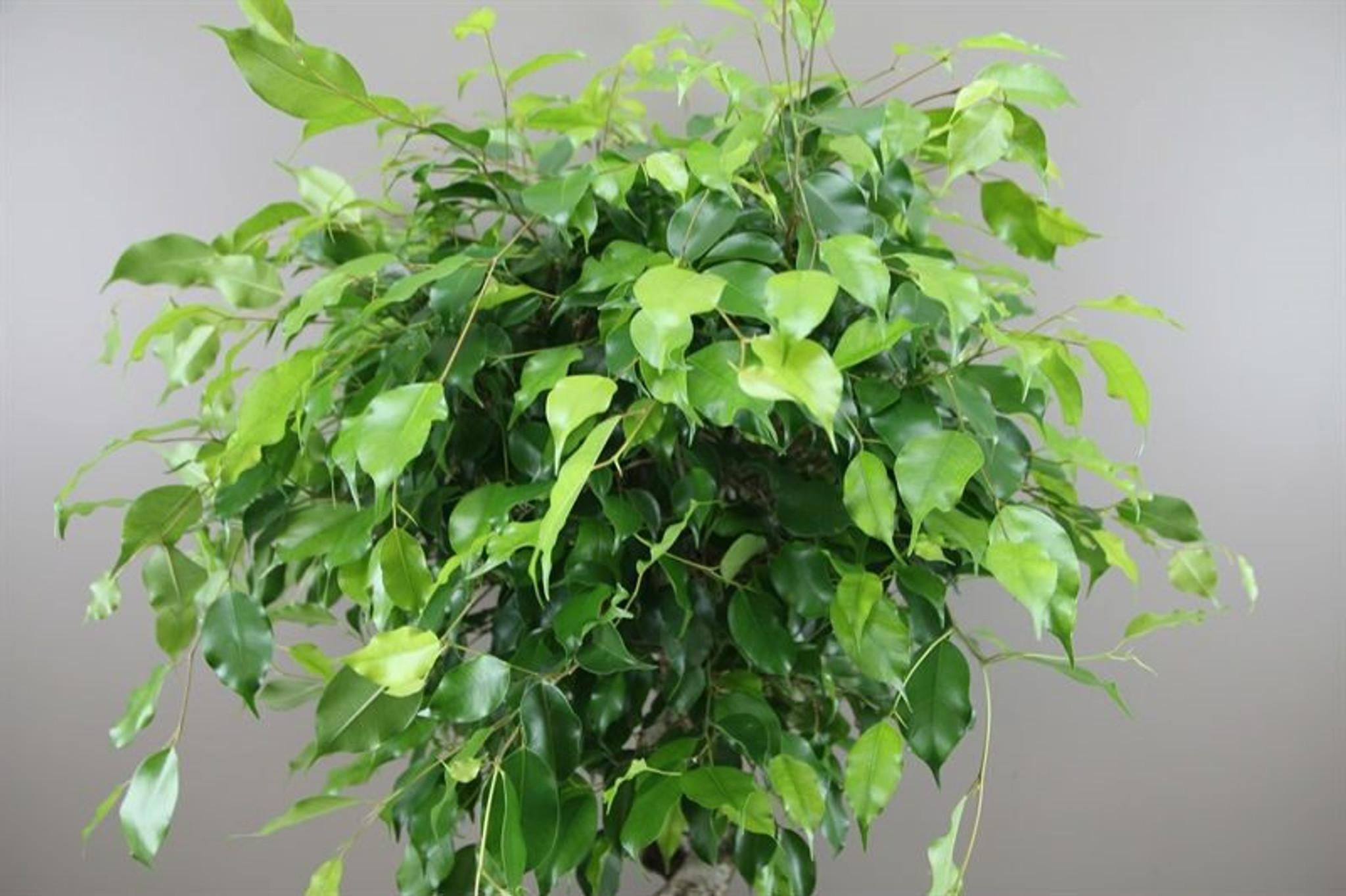 Ficus exotica leaves