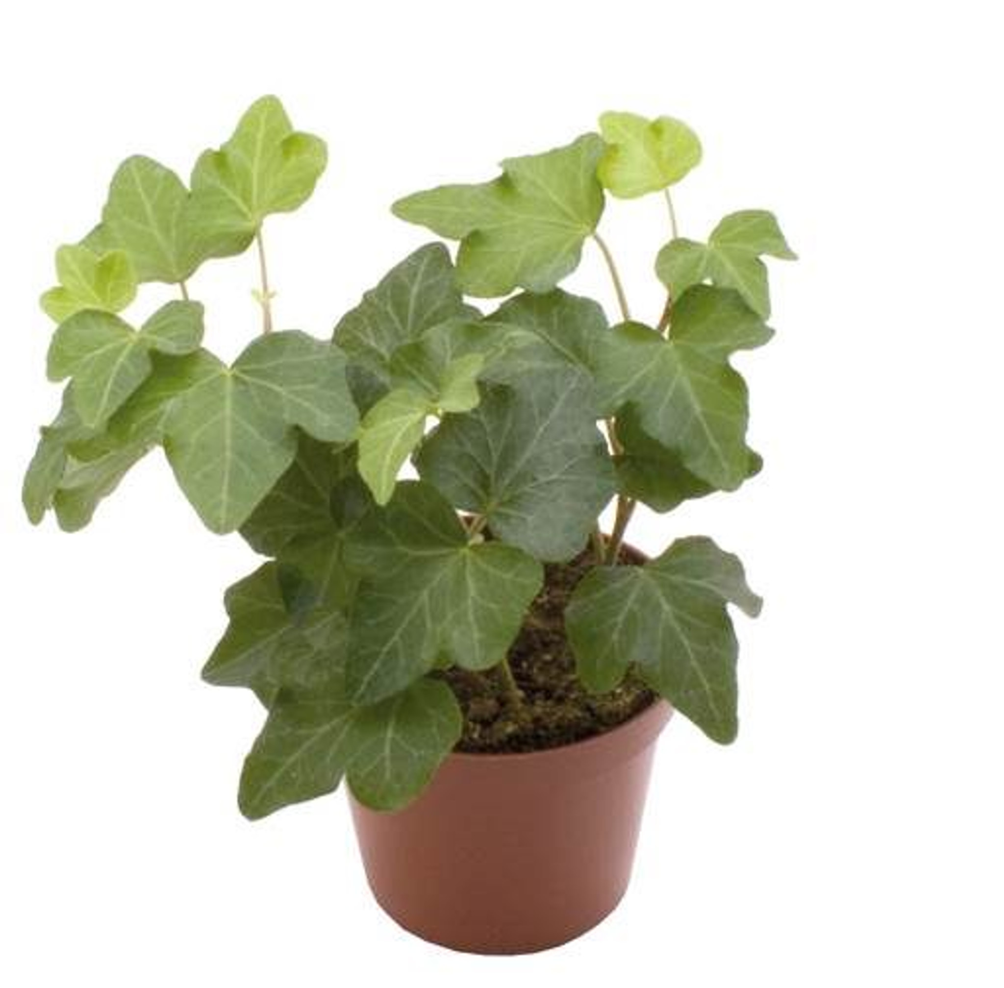 Green Ripple Ivy