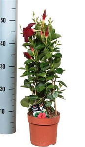 Mandevilla flowering houseplant.