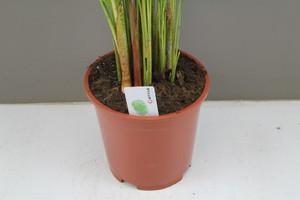 Areca Lutescens stem