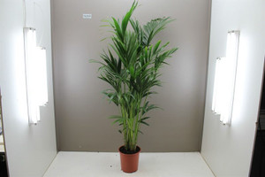 Kentia Palm 1.8m