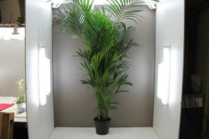 2.4m Exotic Kentia Palm Tree