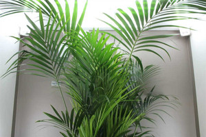 2.4m Kentia Palm Tree