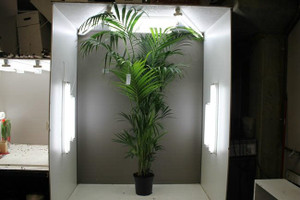 2.7m Kentia Palm Tree
