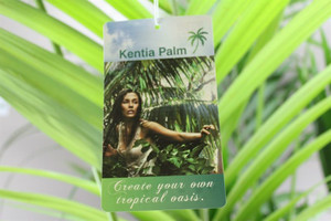 Kentia Palm tree - Tropical oasis