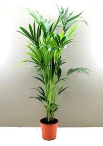 1.6m Kentia Indoor palm