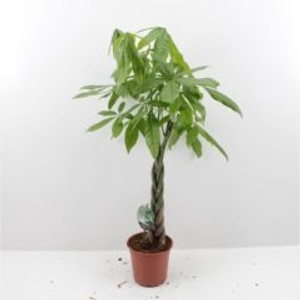 Money tree supplied