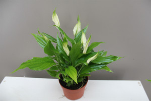 White Peace Lily