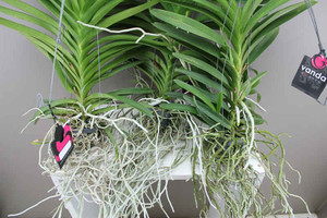 Hanging Orchid with exposed roots