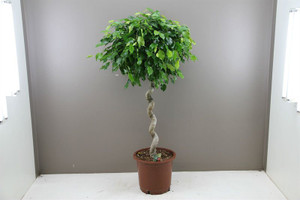 Spiral Stem Ficus