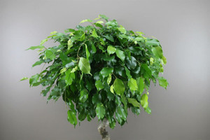 Spiral Stem indoor tree