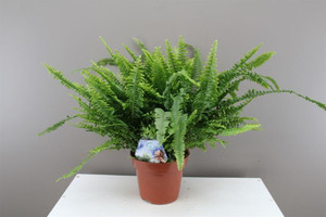 Sword Fern - Nephrolepis Green Lady Fern.