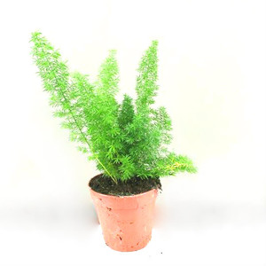 Foxtail fern Asparagus  Fern , easy care plant with beautiful leaves.  We supply 3 sizes . small large and extra large . as they are slow growing plants.