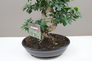 Ficus Ginseng Large Oval planter