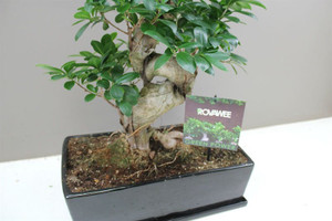 Ceramic potted S Type Ficus Banyan Tree