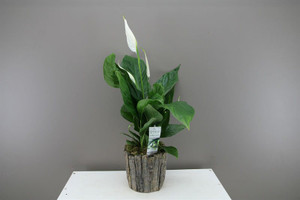 White Peace Lily in wooden look planter