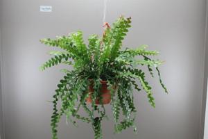Hanging basket plant Epiphyllum Anguliger